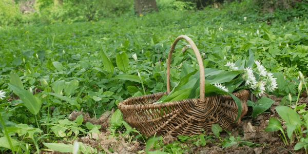 Foraging For Wild Garlic & Making Pesto